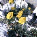 Image of dwarf poppy