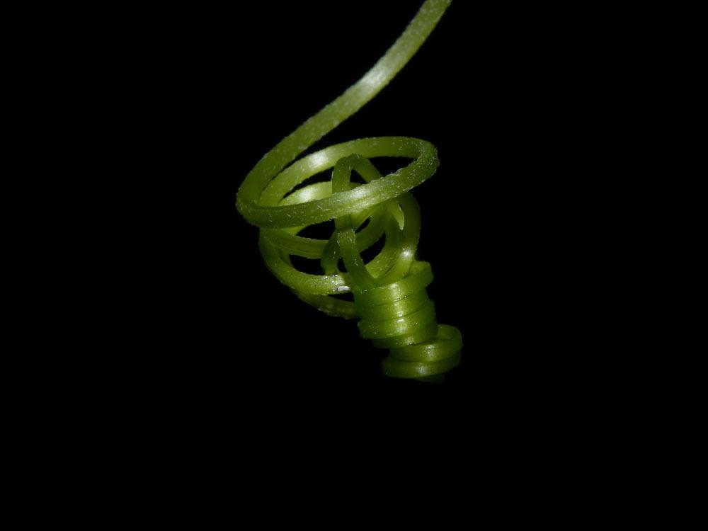 Image of <i>Luffa aegyptiaca</i>