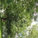 Image of Japanese horse-chestnut