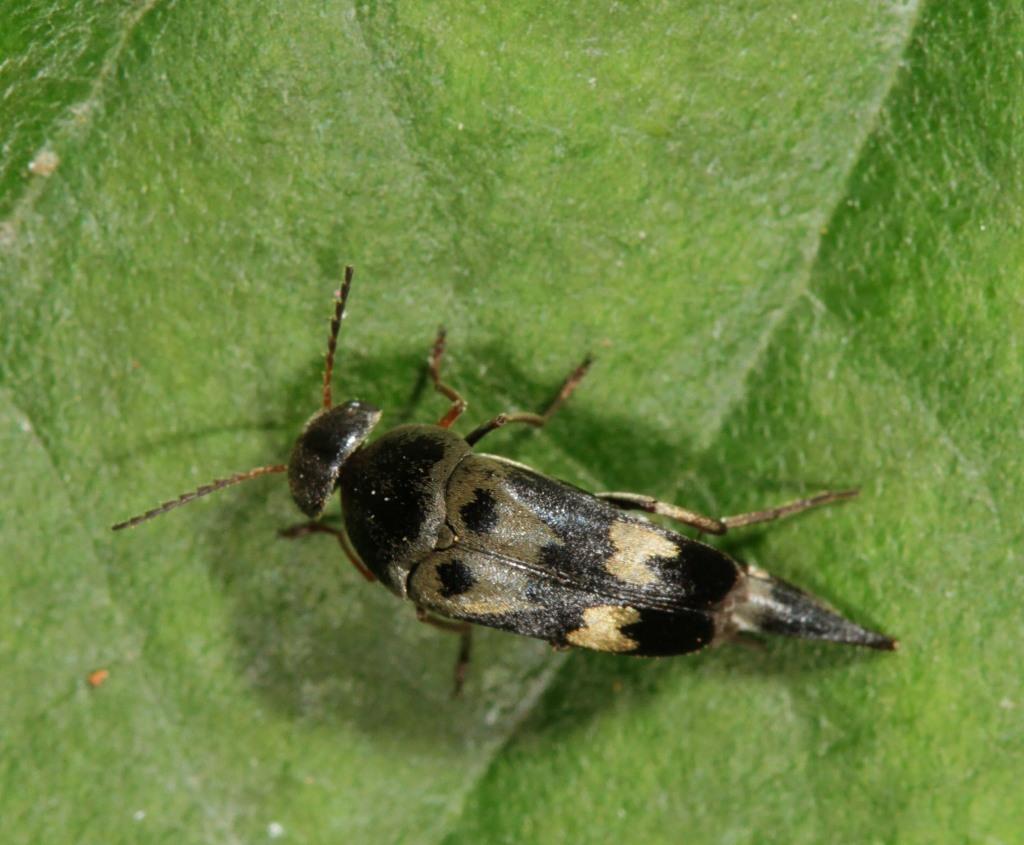 Image of <i>Glipa oculata</i> (Say 1835)