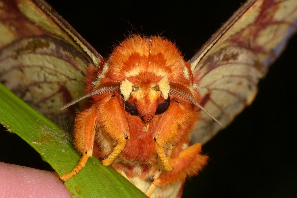 Image of <i>Citheronia bellavista</i> Draudt 1930