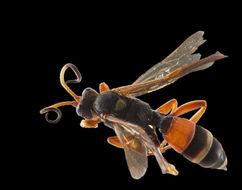 Image of <i>Ichneumon ambulatorius</i> Fabricius 1775
