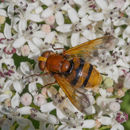 Image of hornet mimic hoverfly