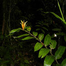 Image of <i>Heliconia longiflora</i> R. R. Sm.