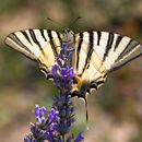 Image of Scarce Swallowtail