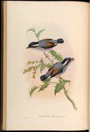 Image of Pied Shrike-babbler