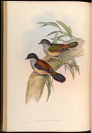 Image of Black-headed Shrike-Babbler