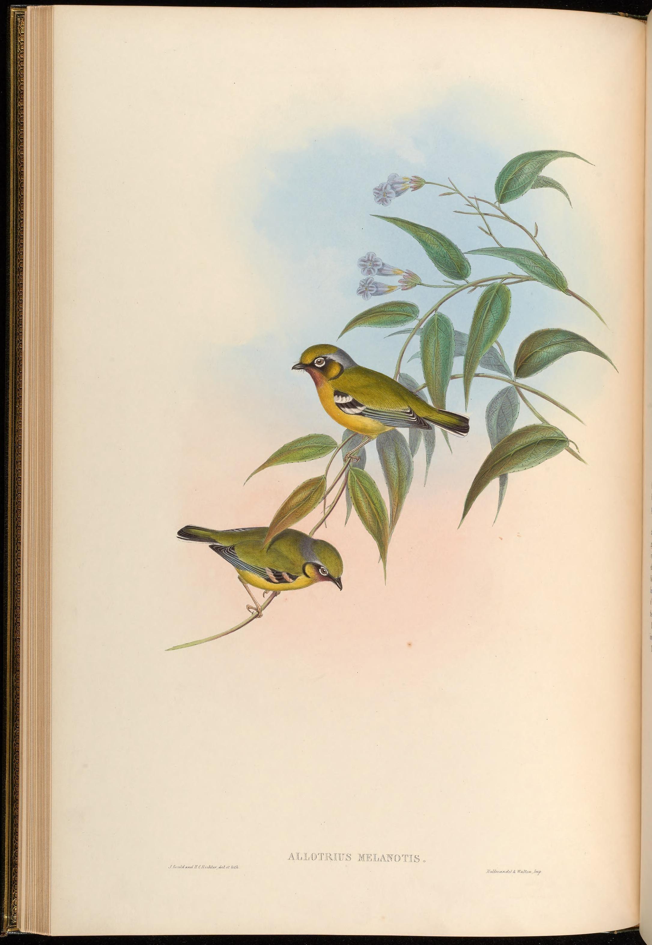 Image of Black-eared Shrike-Babbler