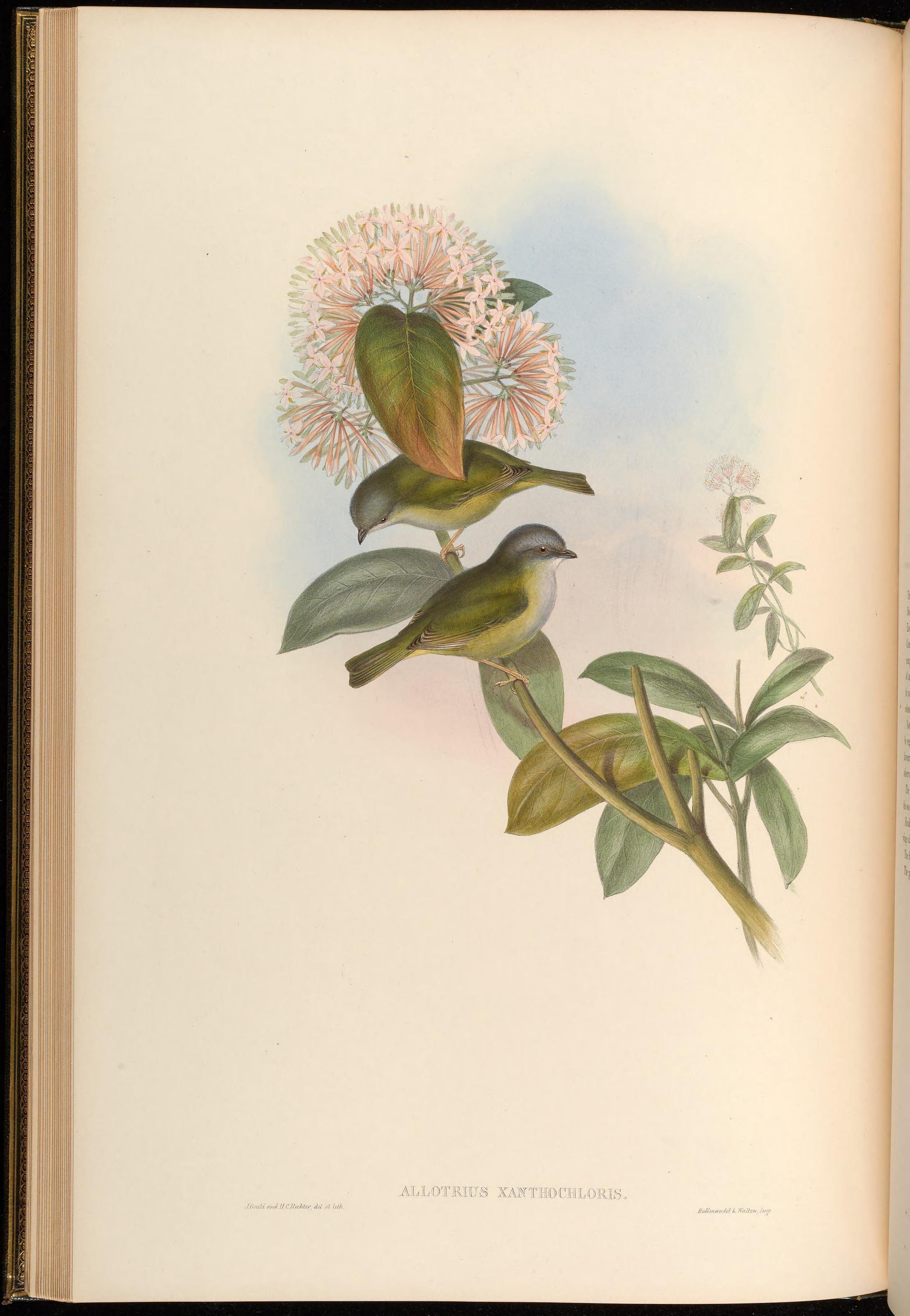 Image of Green Shrike-Babbler