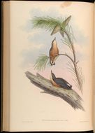Image of White-tailed Nuthatch