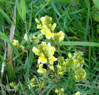Image of Common Toadflax