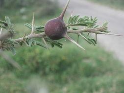 Image of <i>Acacia drepanolobium</i> Sjostedt