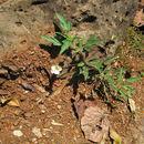 Image of <i>Monsonia longipes</i> Knuth