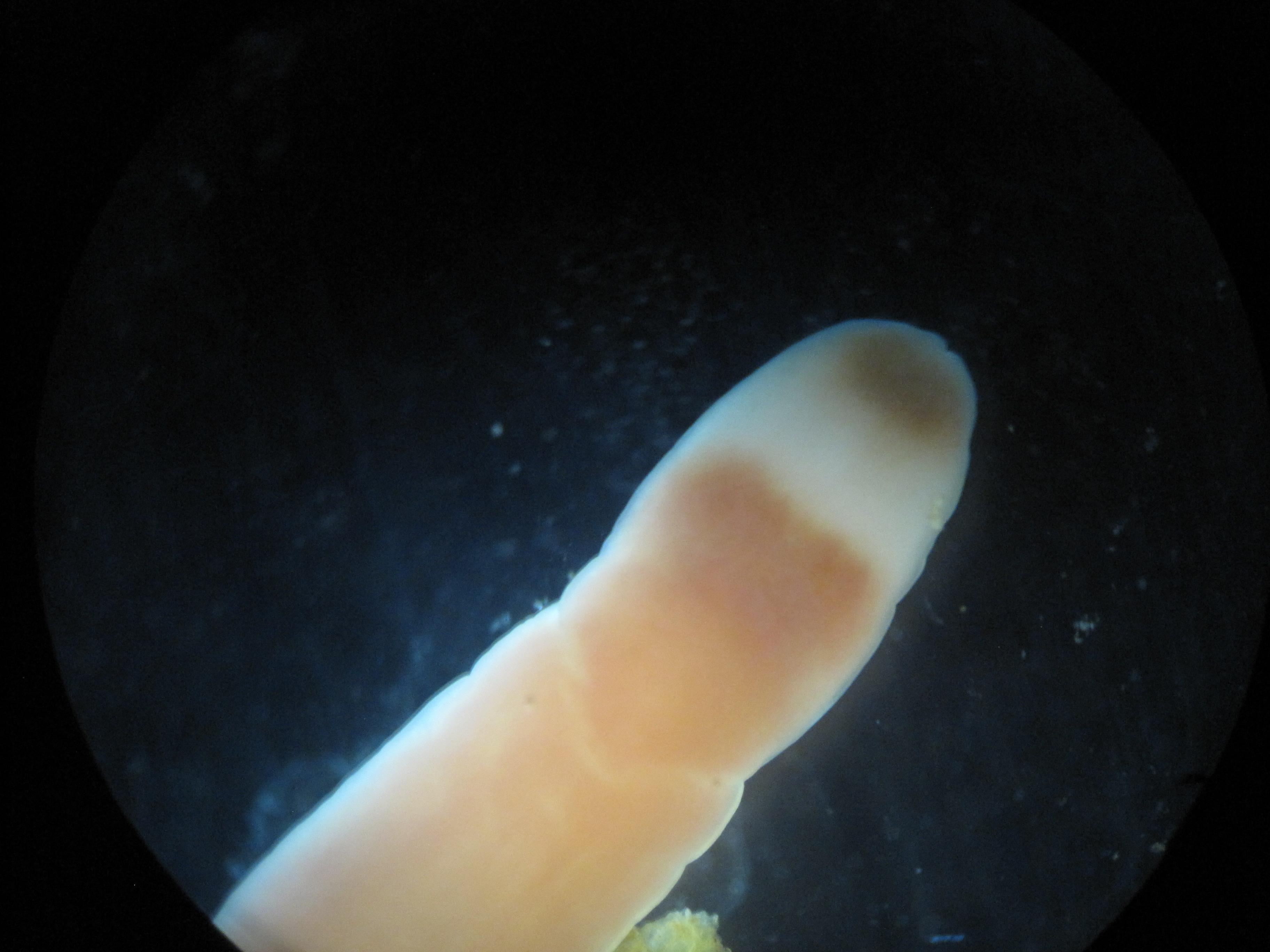 Image of <i>Micrura aurantiaca</i>