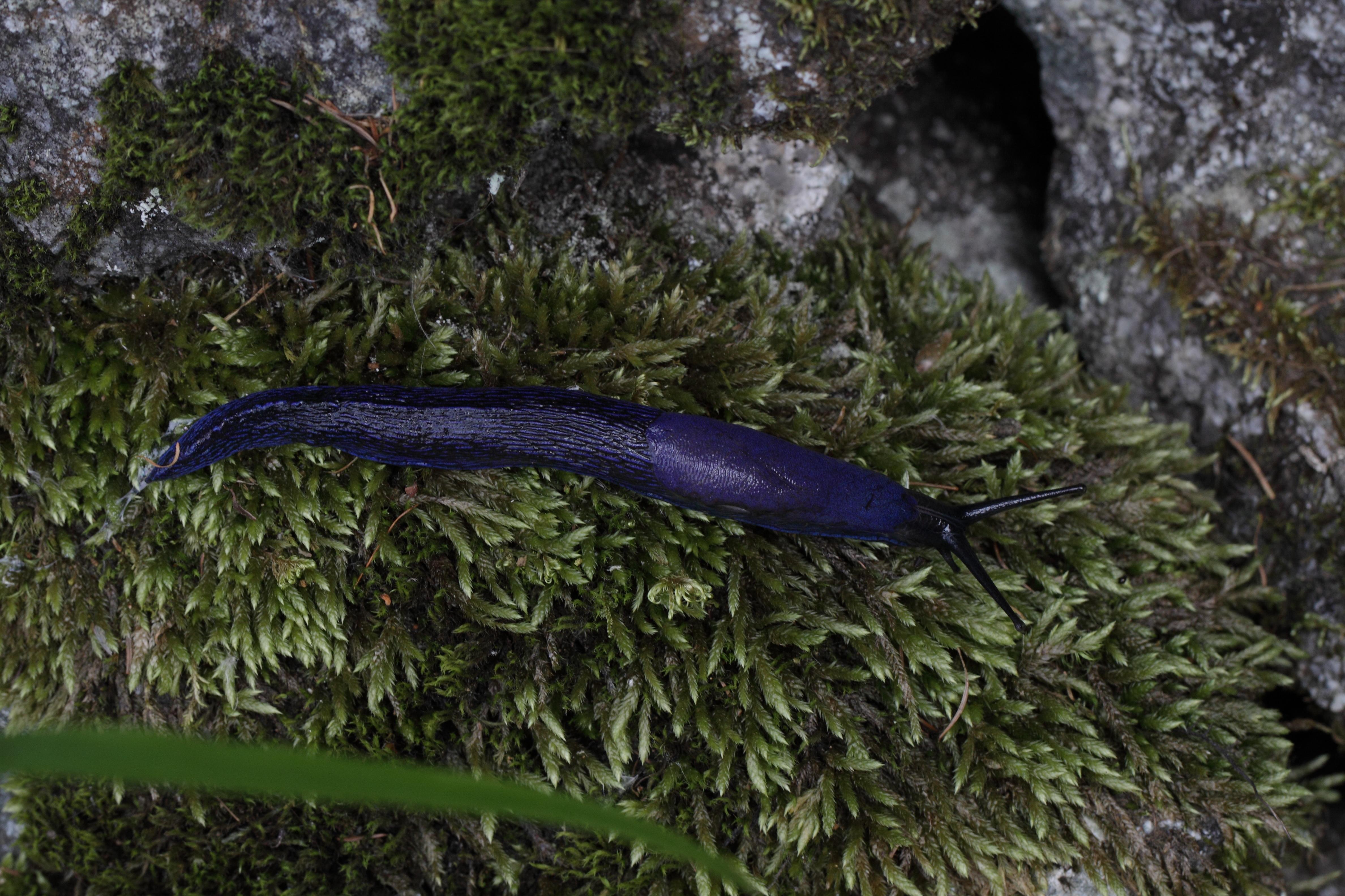 Image of <i>Bielzia coerulans</i> (M. Bielz 1851)