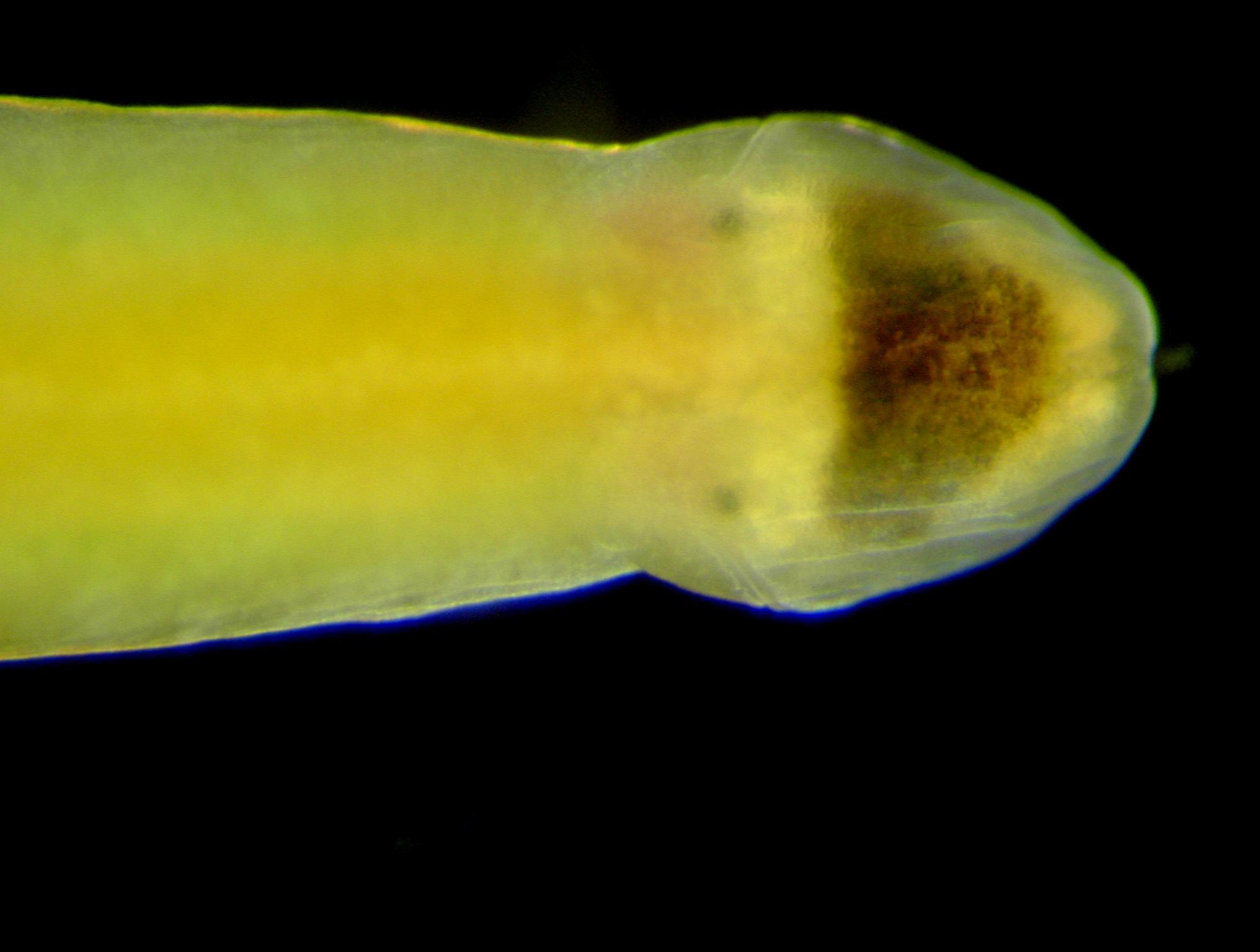 Image of black head ribbon worm