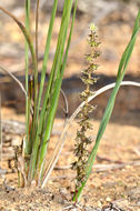 Image of <i>Lomandra <i>micrantha</i></i> micrantha
