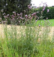 Image of <i>Cirsium arvense</i> (L.) Scop.
