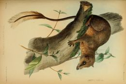 Image of Feather-tailed Tree Shrew