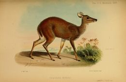 Image of Dwarf Red Brocket