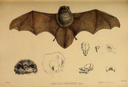Image of Thumbless Bat