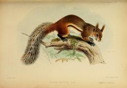 صورة <i>Idiurus macrotis</i> Miller 1898