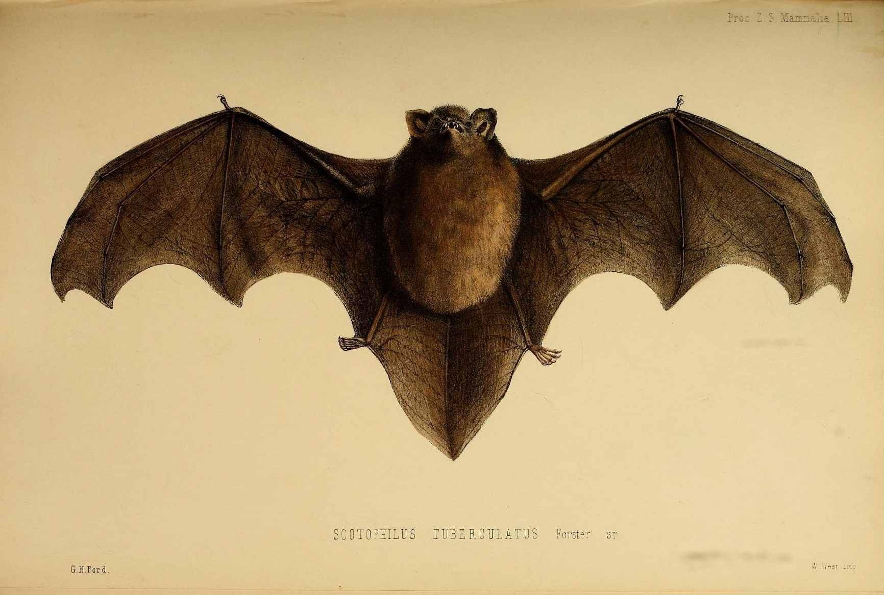 Image of Long-tailed Wattled Bat
