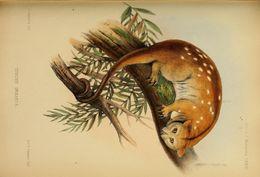 Image of Moluccan Cuscus