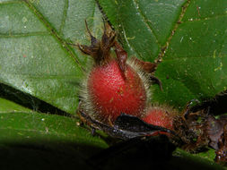 Image of <i>Duroia costaricensis</i> Standl.