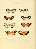 Image of <i>Napeogenes larina</i> Hewitson 1855