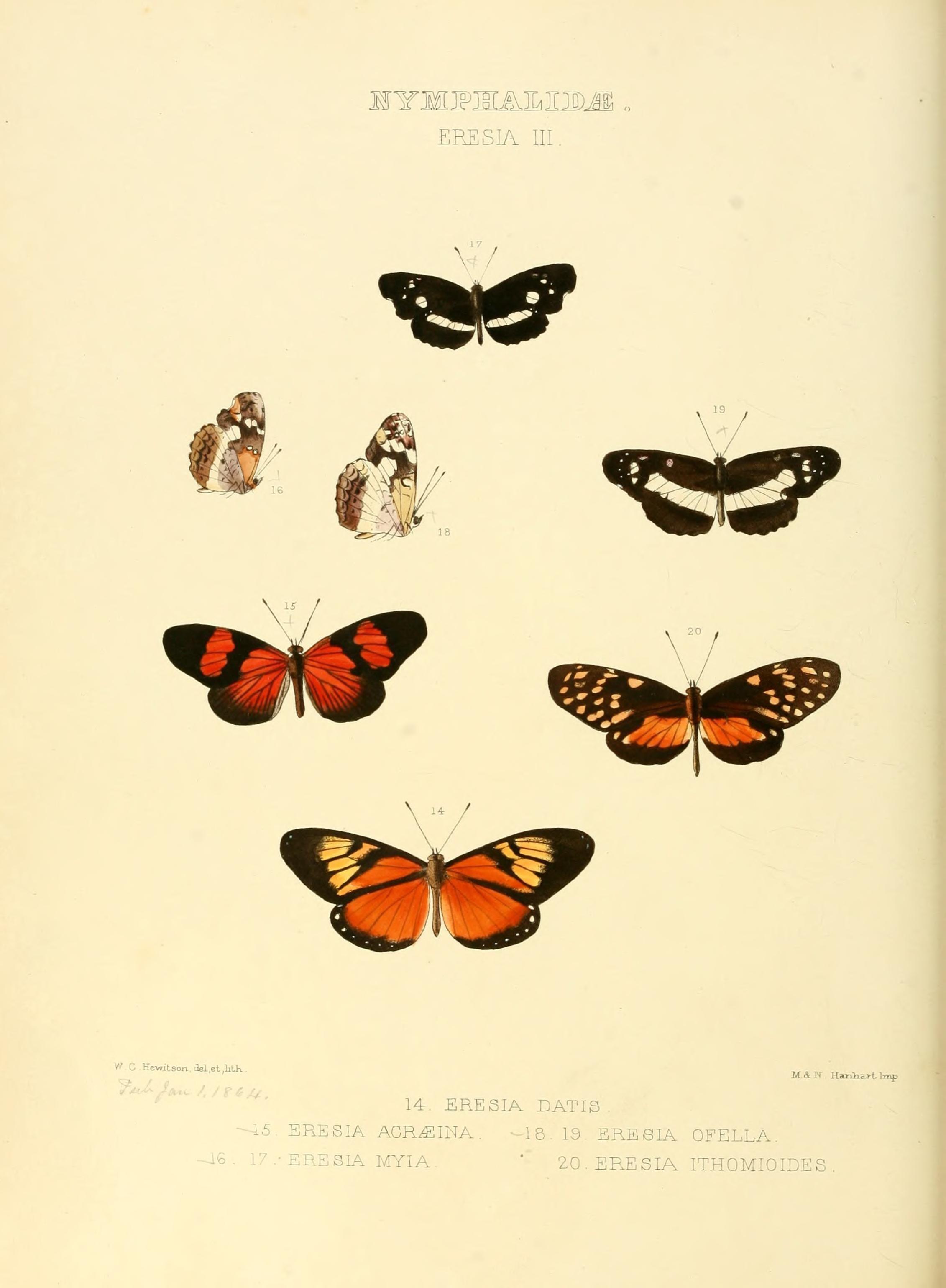 Image of <i>Castilia acraeina</i> Hewitson 1864