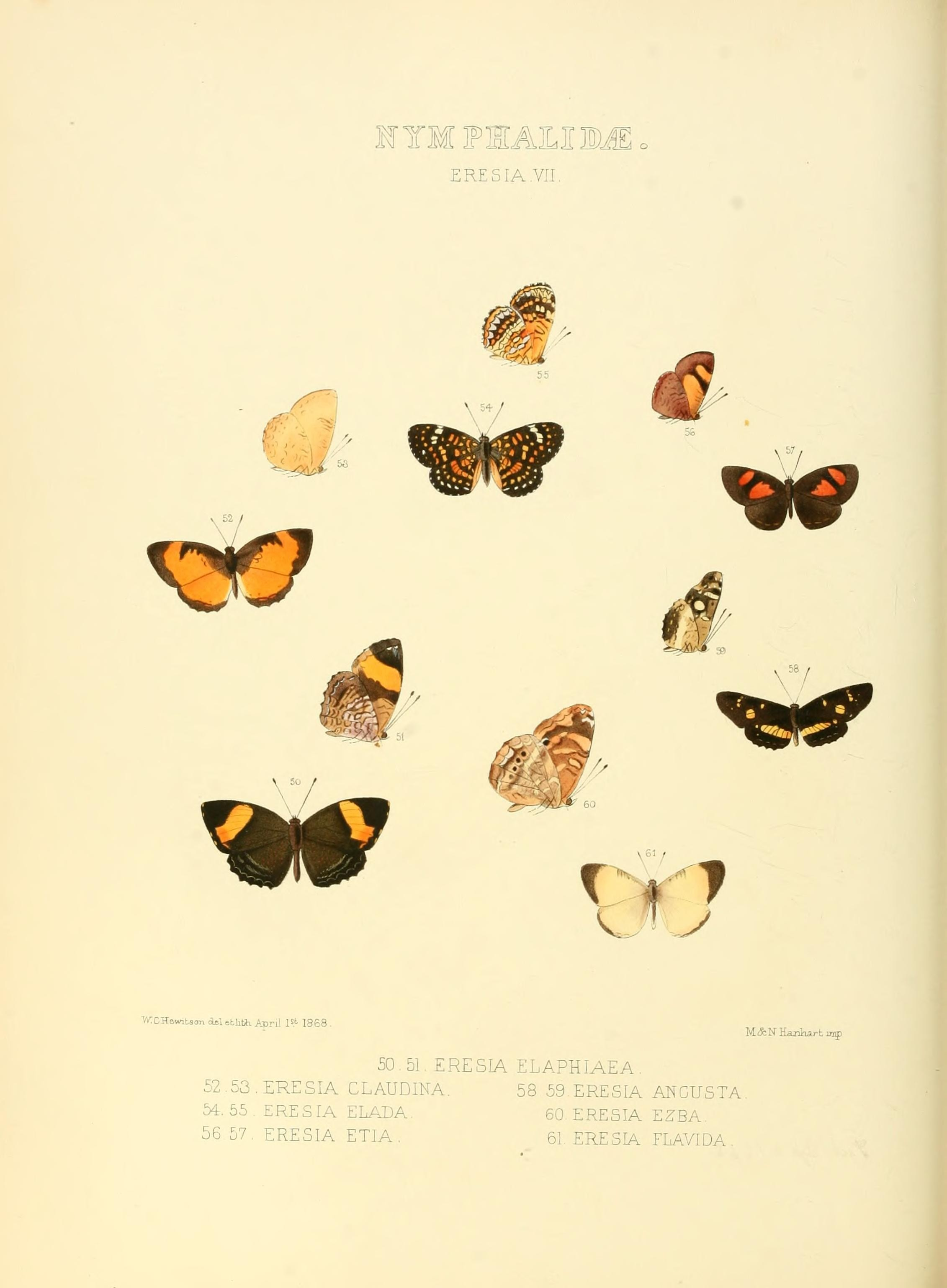 Image of <i>Castilia angusta</i> Hewitson 1868