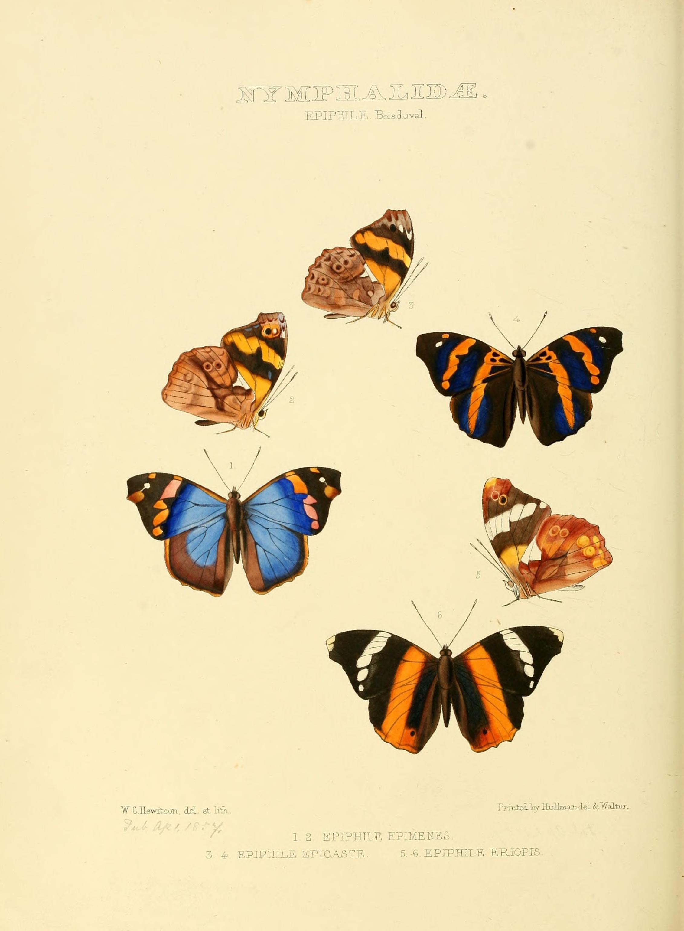 Image of <i>Epiphile epimenes</i> Hewitson 1857