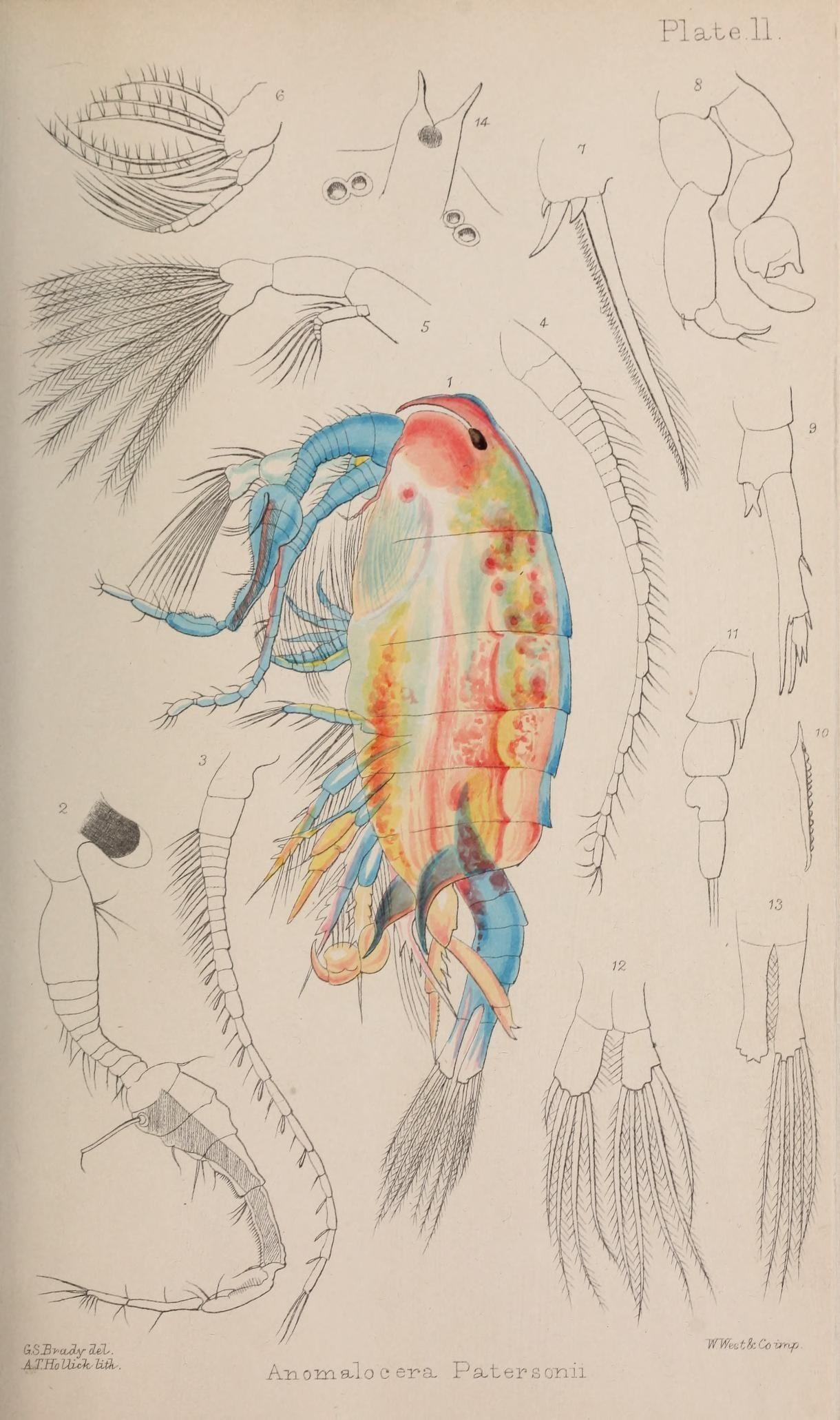 Image of <i>Anomalocera patersoni</i> Templeton 1837