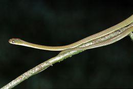 Image of <i>Dipsadoboa viridis</i> (Peters 1869)