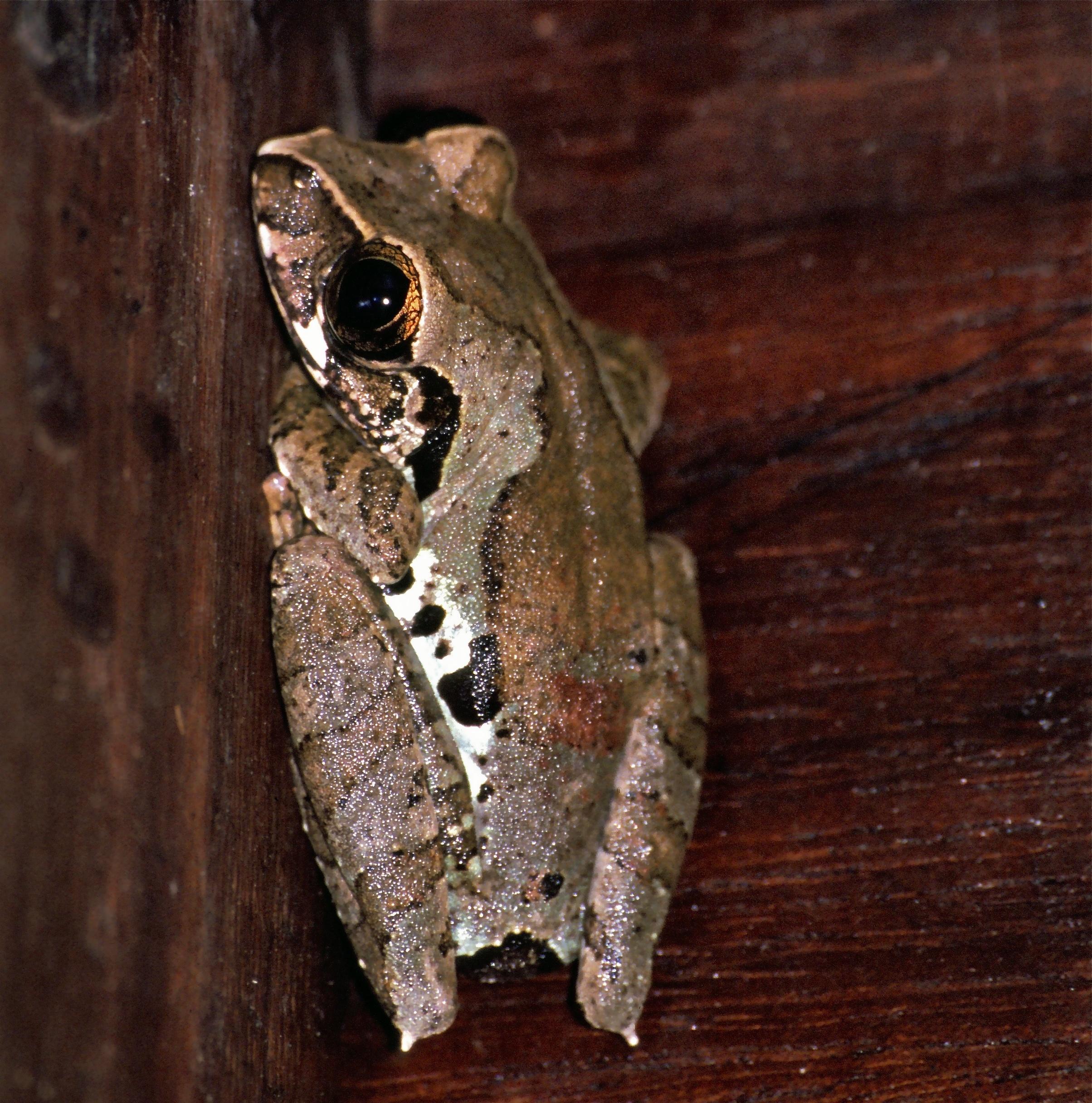 Image of <i>Leptopelis calcaratus</i> (Boulenger 1906)