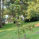 Image of <i>Sorbus megalocarpa</i> Rehd.