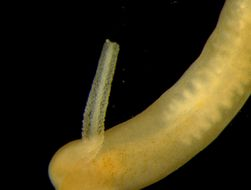 Image of <i>Gononemertes parasita</i> Bergendal 1900