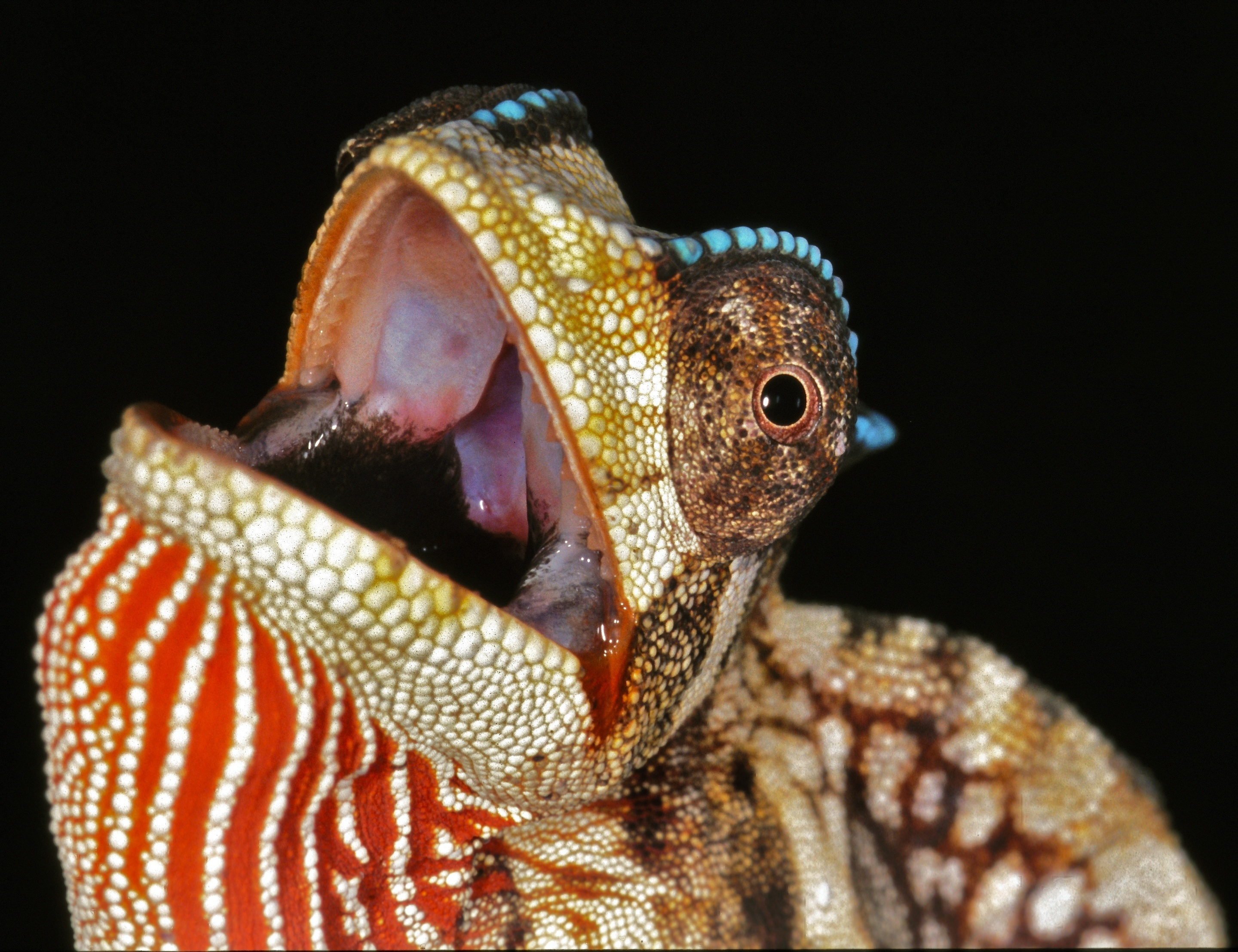 Image of Crested Chameleon