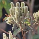 Image of <i>Colebrookea oppositifolia</i> Sm.