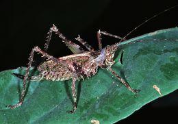 Image of <i>Batodromeus subulo</i> (Karsch 1893)