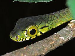 Image of Large-eyed Green Treesnake