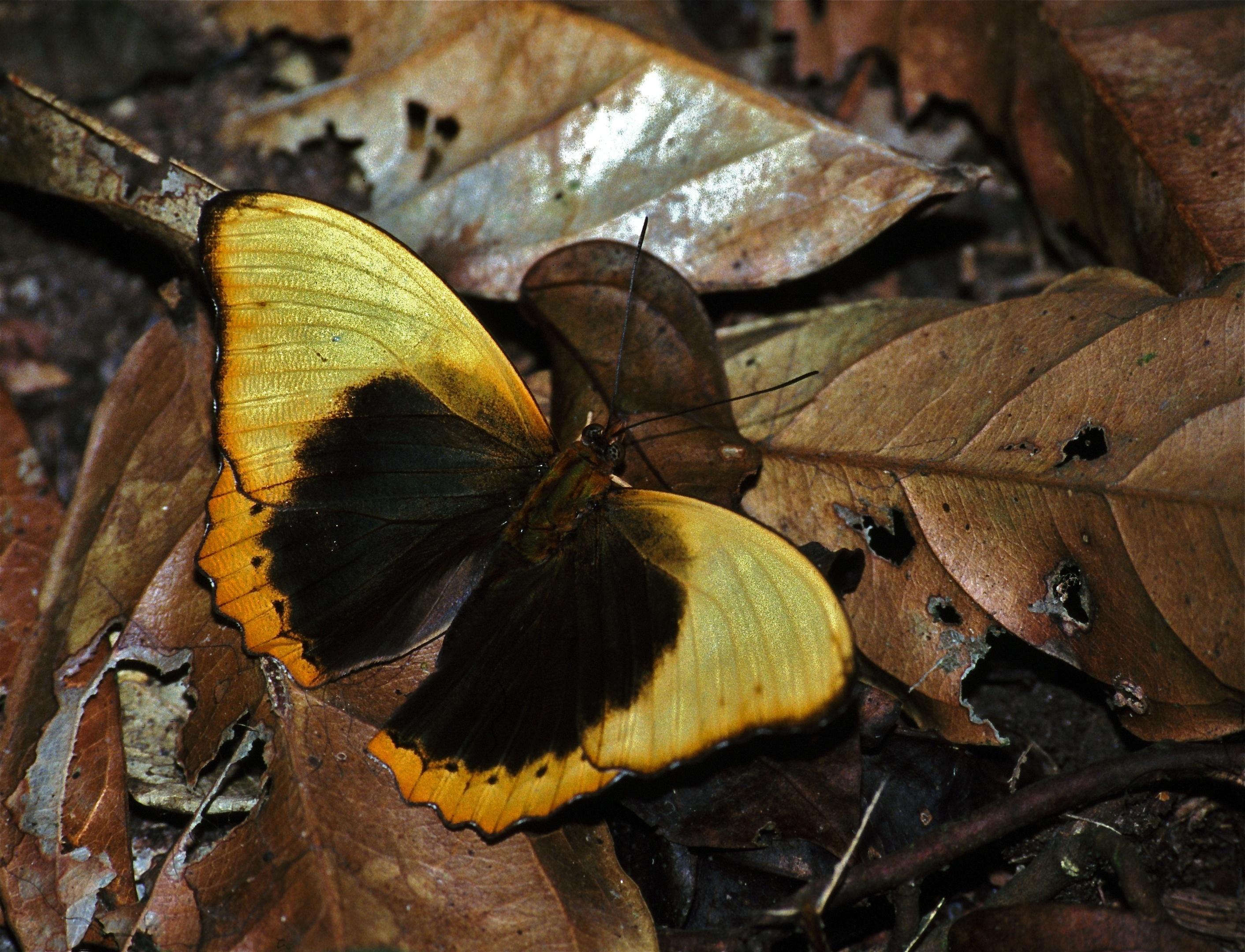 Image of <i>Cymothoe <i>fumana</i></i> ssp. fumana