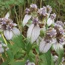 Image of <i>Haumaniastrum villosum</i> (Benth.) A. J. Paton