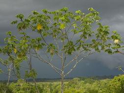 Image of Yagrumo Hembra, Trumpet-Tree