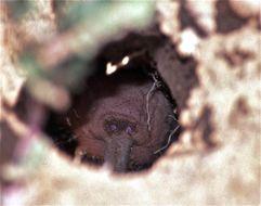 Image of Naked Mole-rat