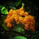 Image of <i>Saraca thaipingensis</i> Prain