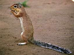 Image of Unstriped Ground Squirrel