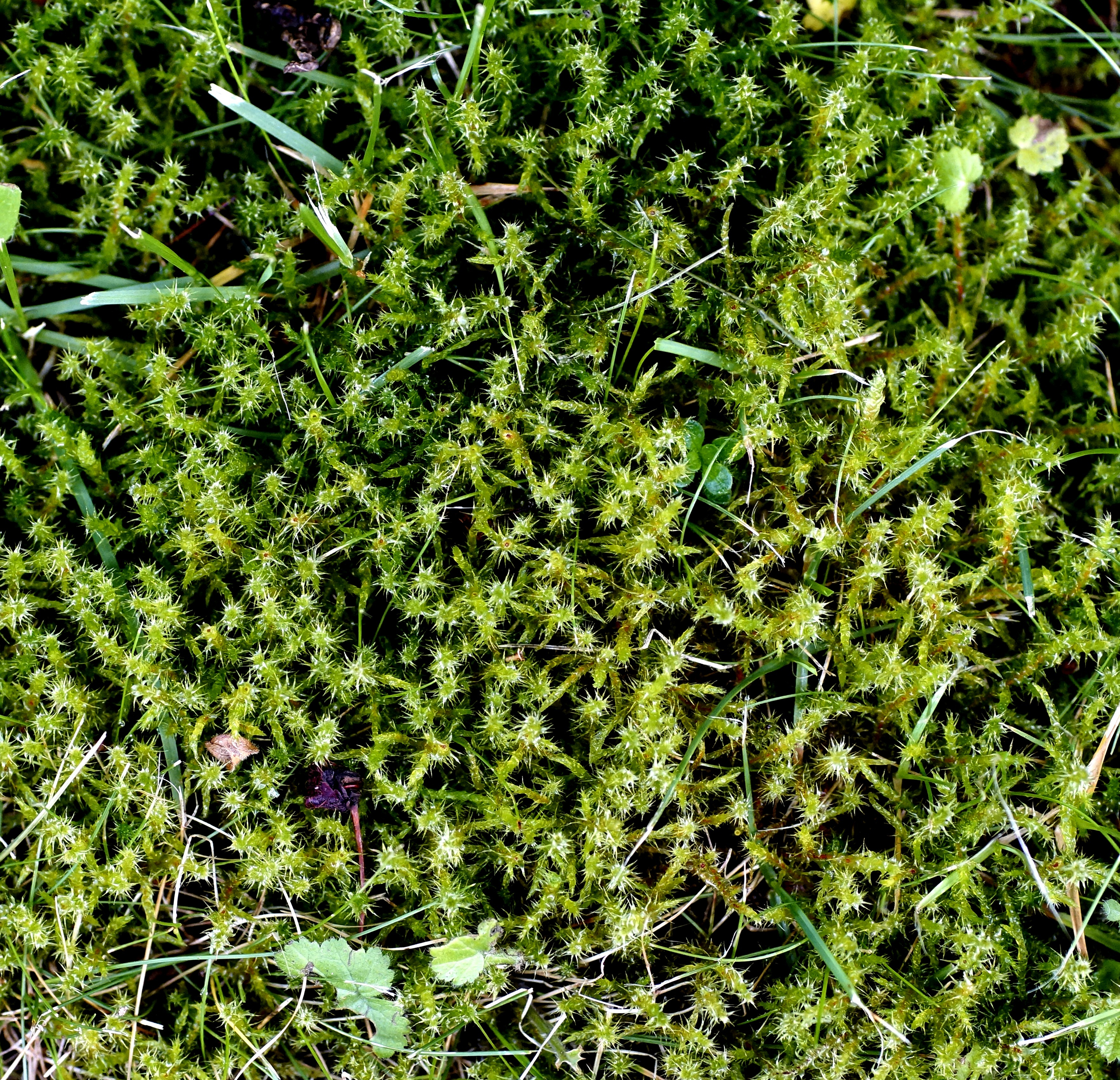 Image of square goose neck moss
