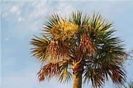 Image of blue palmetto